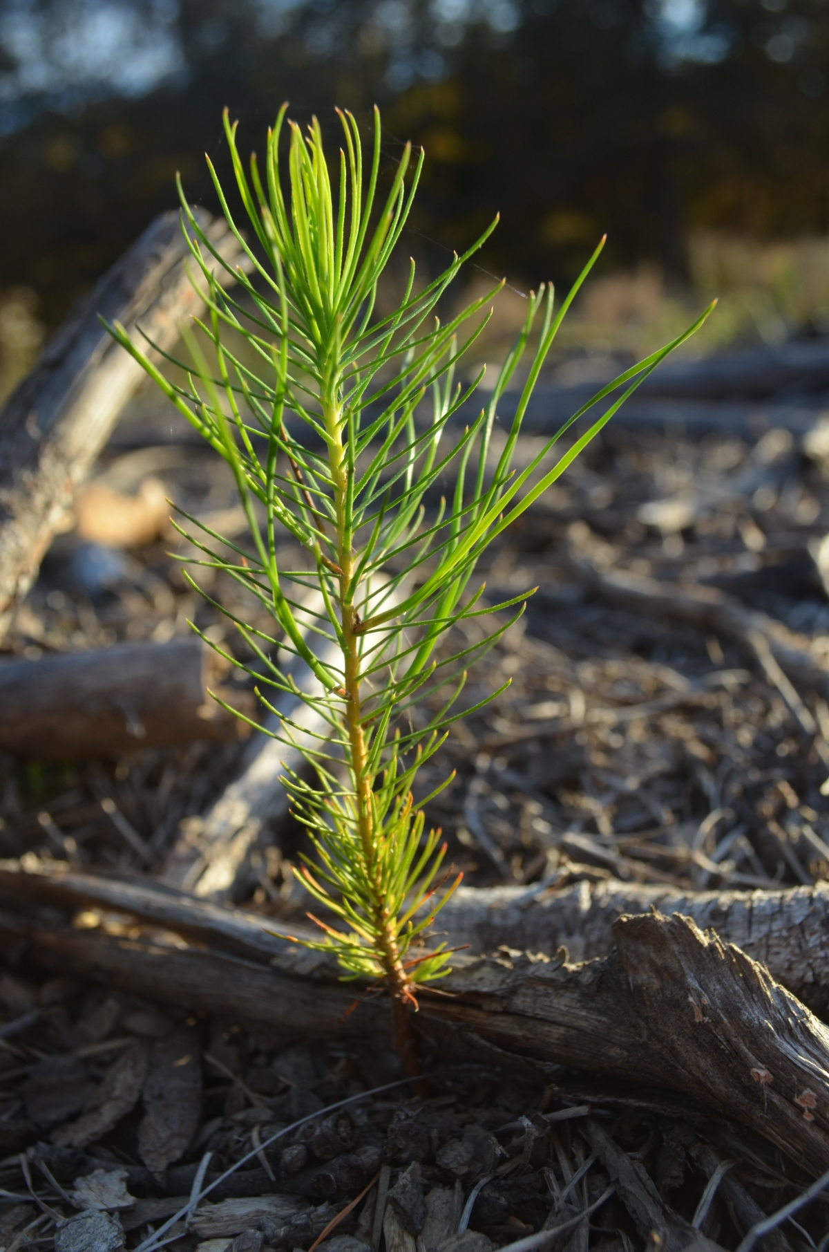 Pine seedling growing from the clear-cut.