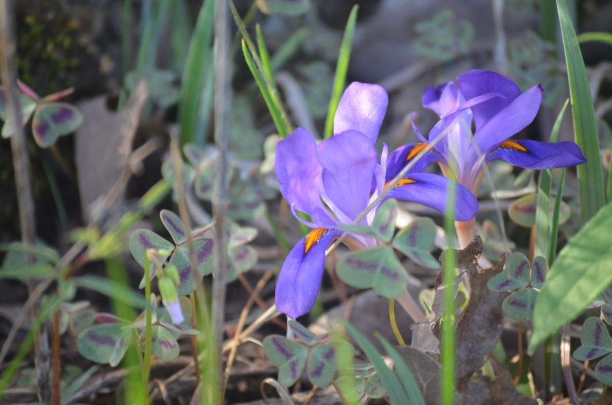Wild Iris #springflowers
