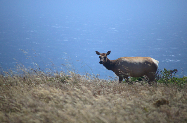 Tule Elk on Point Reyes.